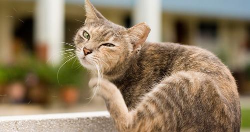 Flea treatment for kittens uk