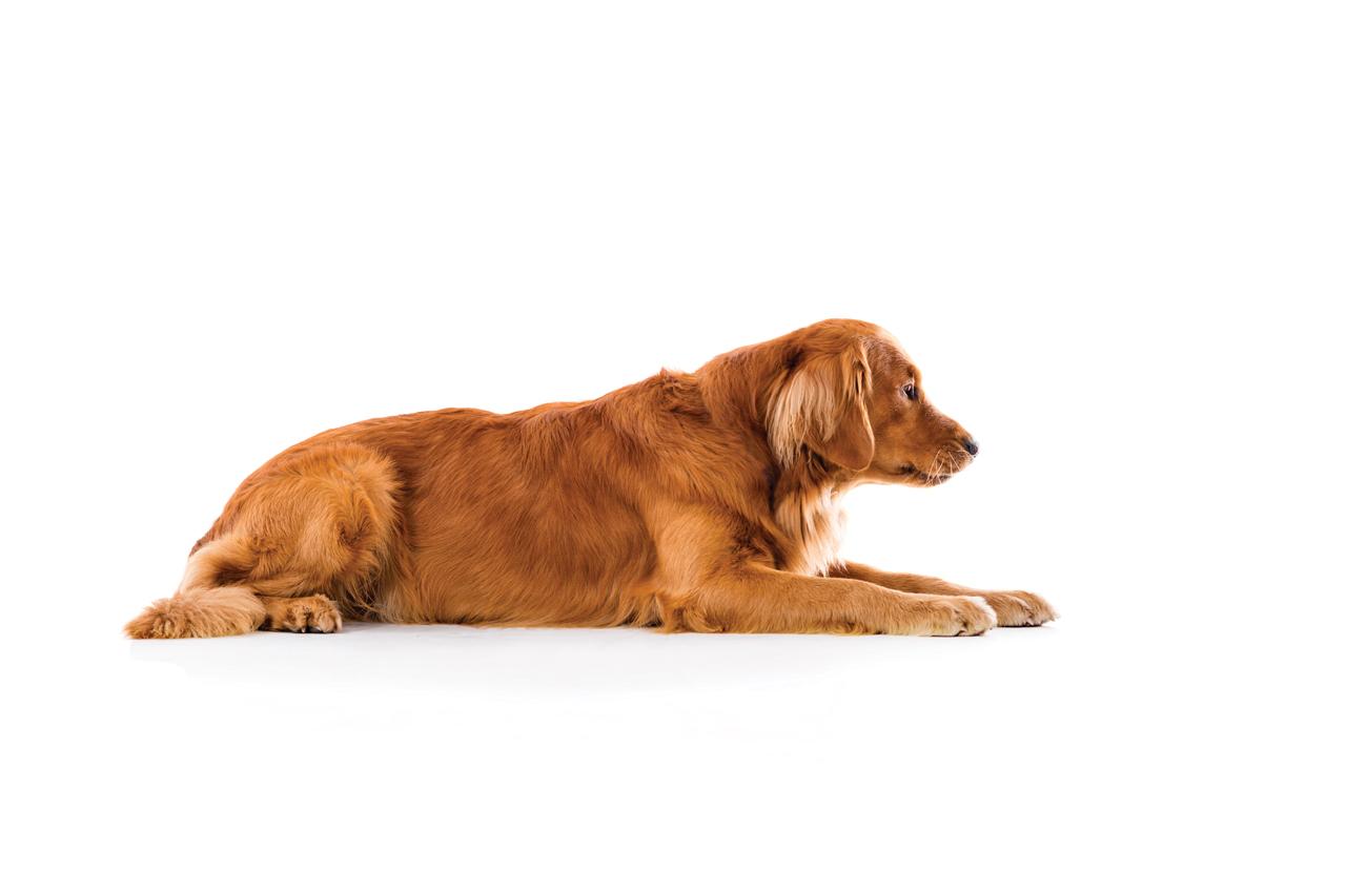 Картинка лежачей собаки