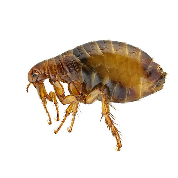 bolha paraziták)
