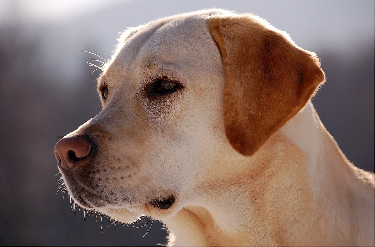 Labrador Alimentation Caractere Sante Beaphar