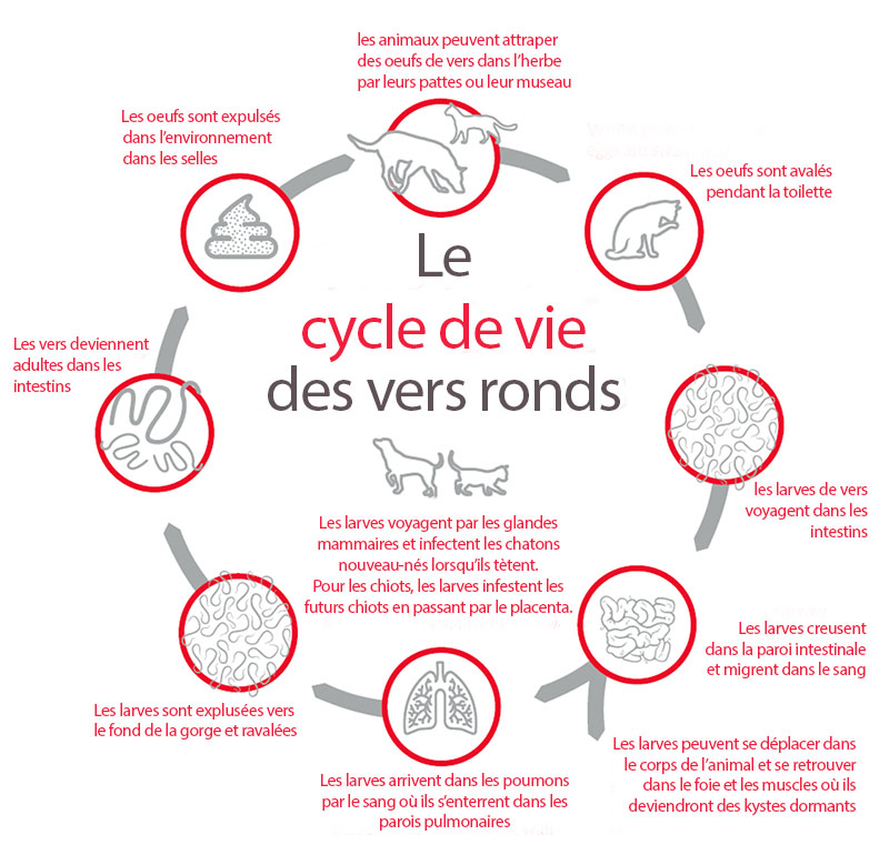 cycle de vie vers ronds