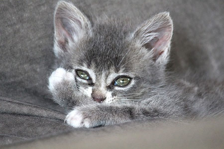 chaton chartreux tabby
