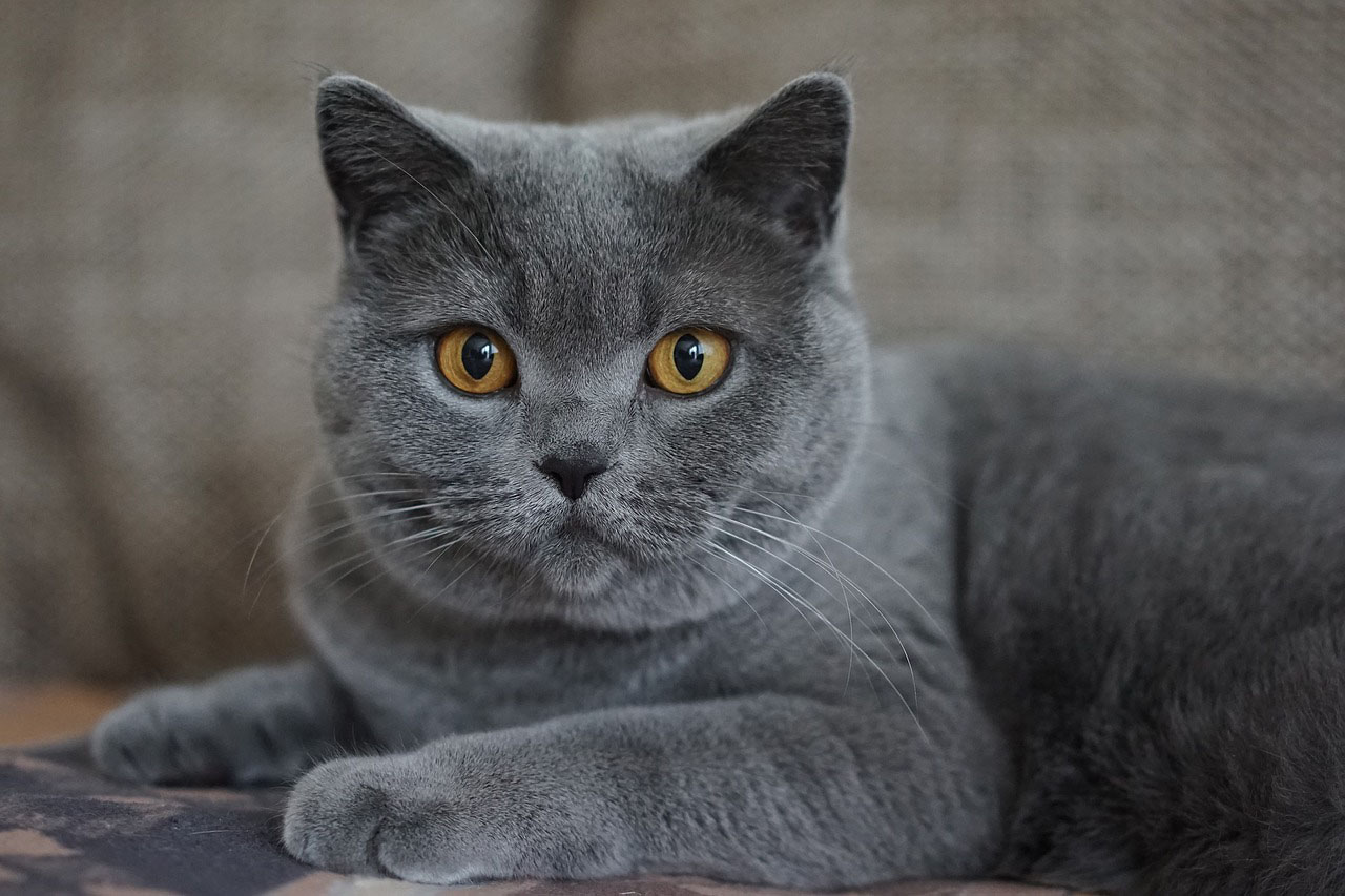 chat Chartreux