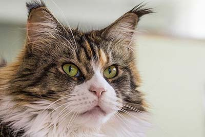 Maine coon tête
