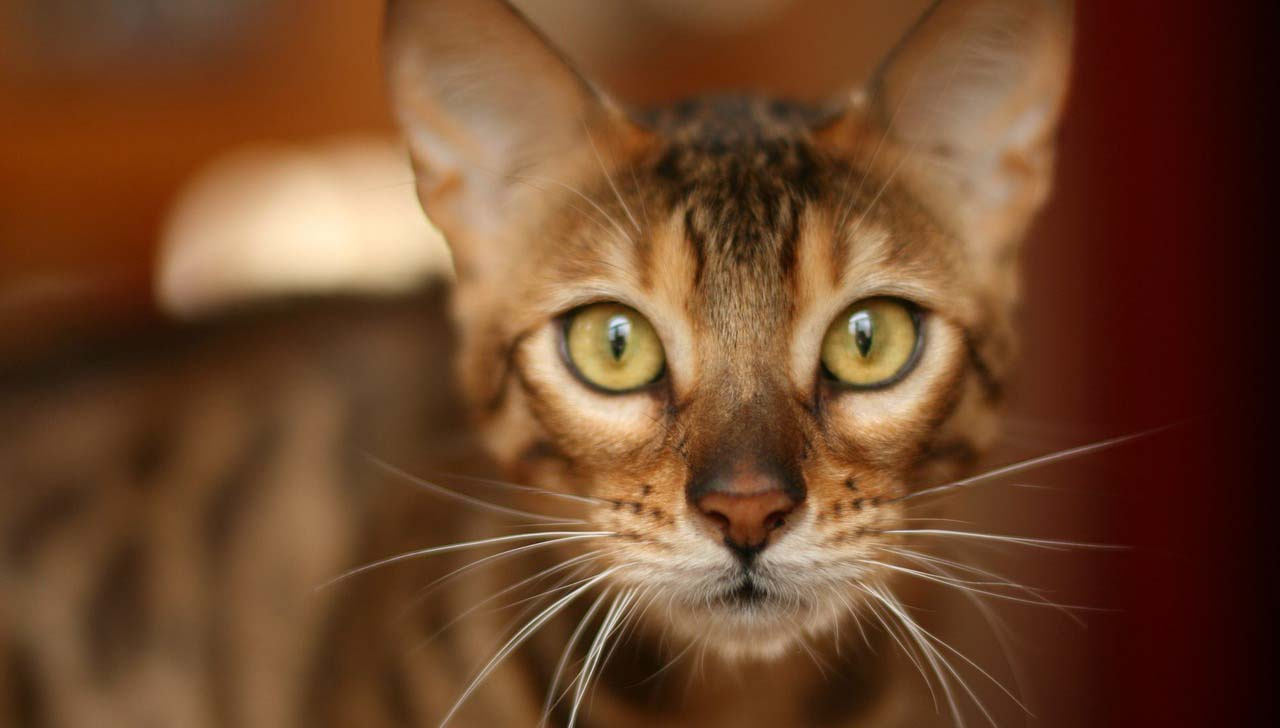 Chat Bengal Alimentation Caractere Sante Beaphar