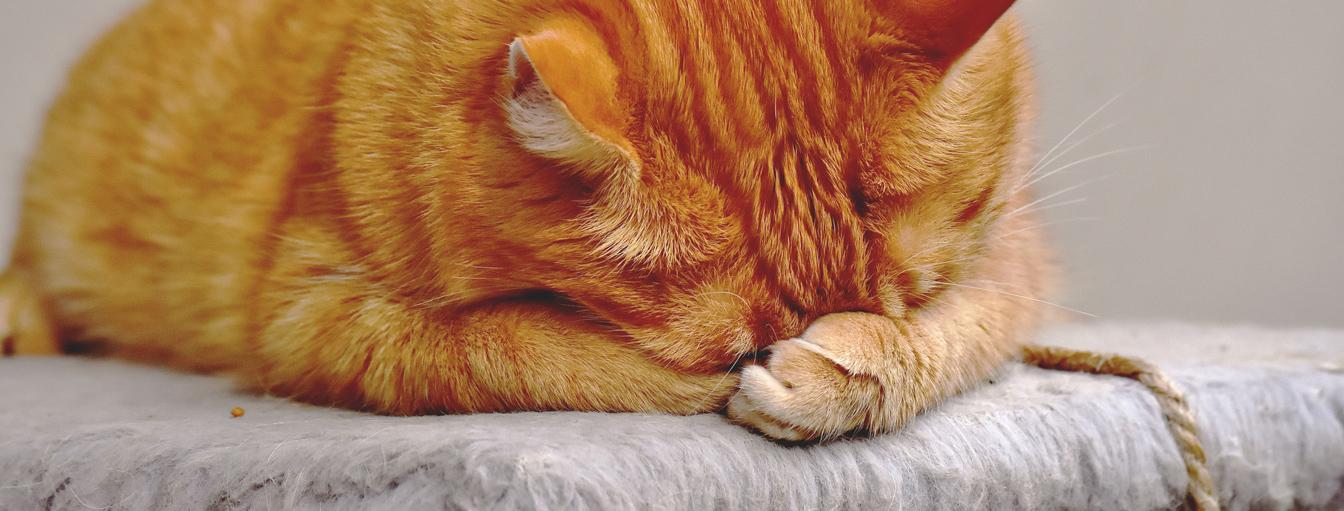 Katzen Nierenversagen und Gewichtsverlust