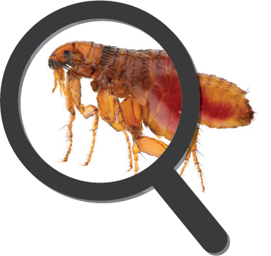 flea magnifying glass